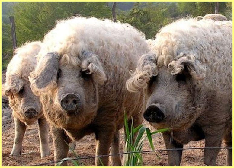 cochon laineux