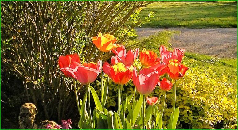 Les tulipes de Tonton
